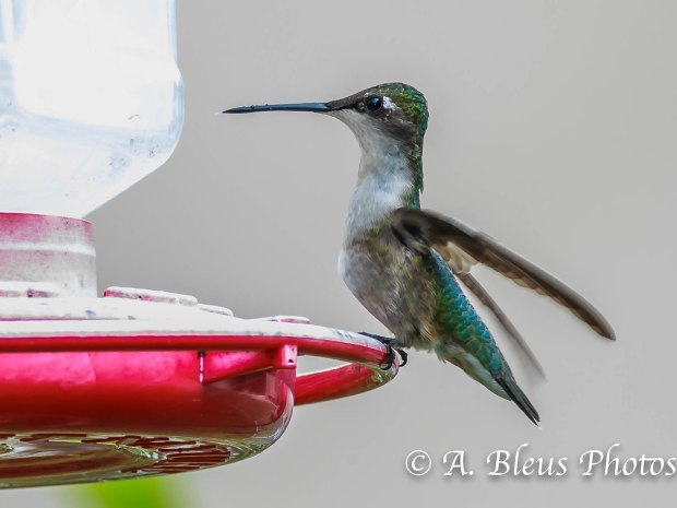 Female Ruby-throated Hummingbird_93E3088