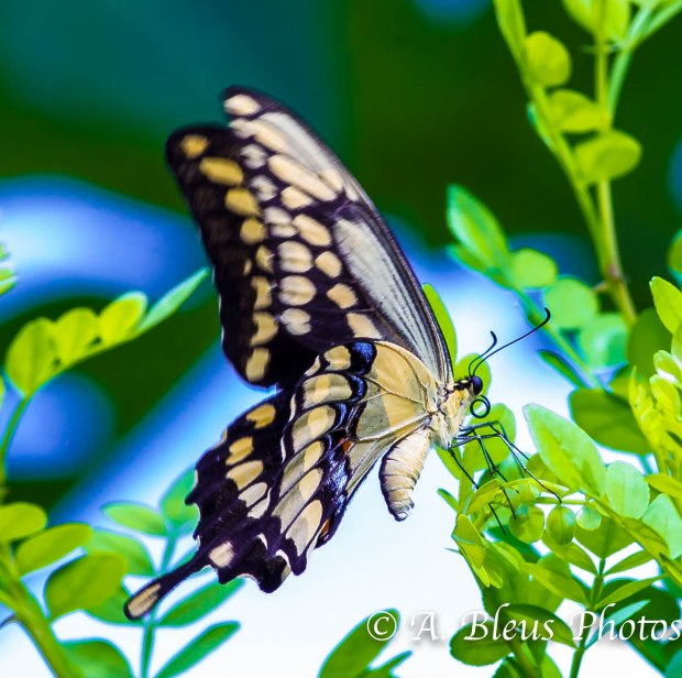 Giant Swallowtail Butterfly_93E3031