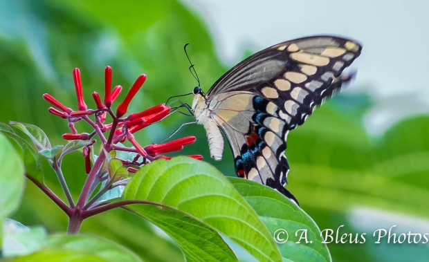 Giant Swallowtail Butterfly_93E3050