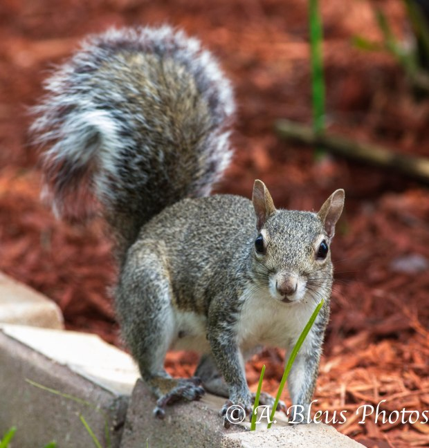 Gray Squirrel_ 93E3067