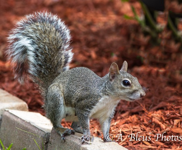 Gray Squirrel_ 93E3069