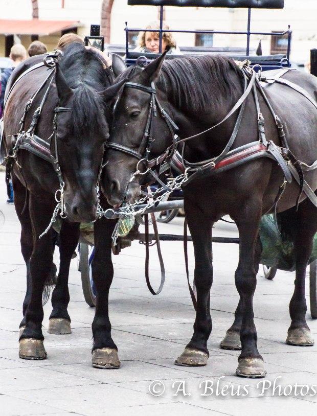 Horses Cuddling MG_9959)