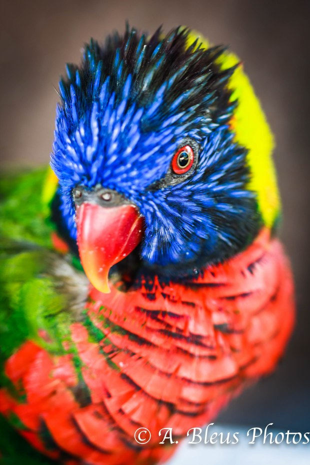 Lorikeet Portrait MG_304