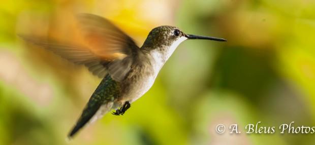 Ruby-throated Hummingbird-1