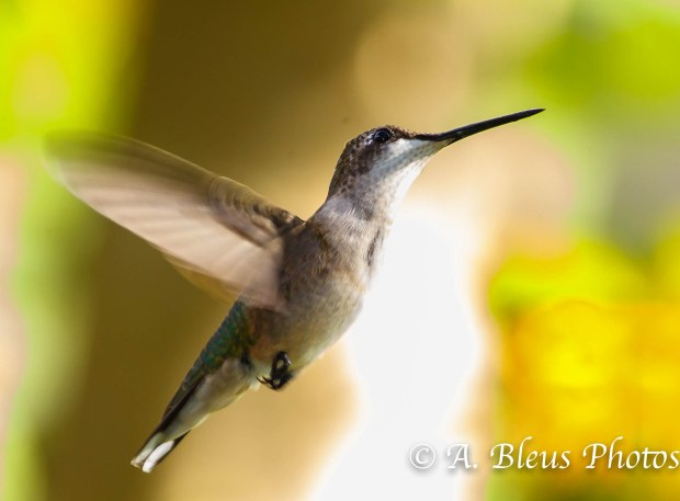 Ruby-throated Hummingbird-2