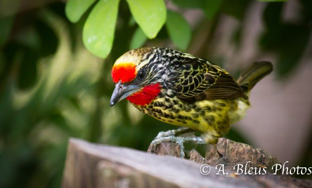 Spotted Tanager MG_8189