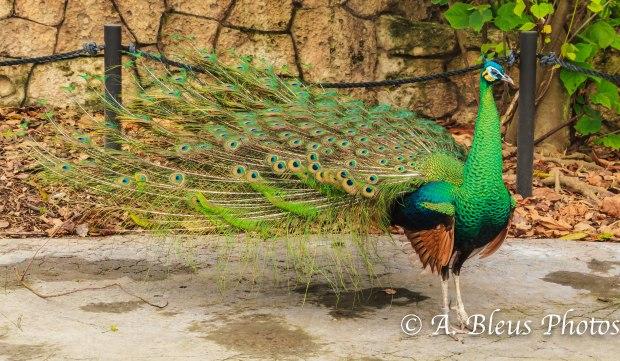 The Peacock MG_7692