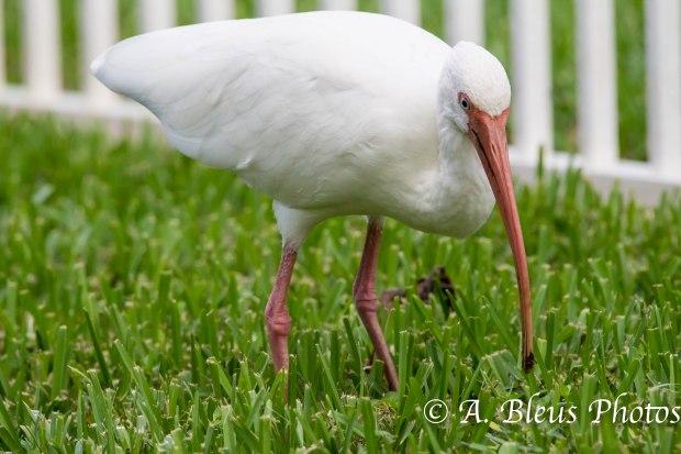 American White Ibis 93E5182