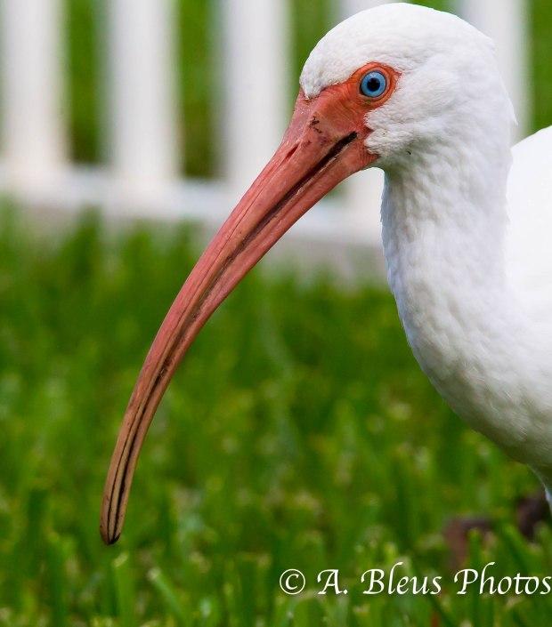 American White Ibis 93E5184