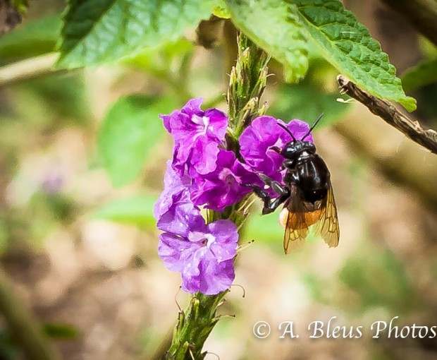 Bumblebee on Verbena Plant, Costa Rica