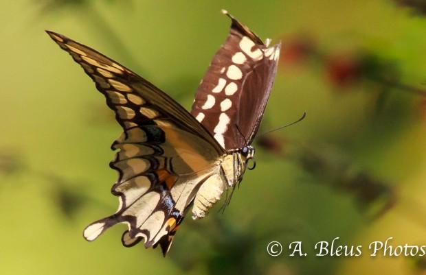 Giant Swallowtail Butterfly in Flight 93E5140