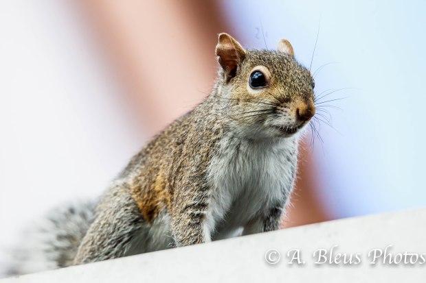 Gray Squirrel 93E5162