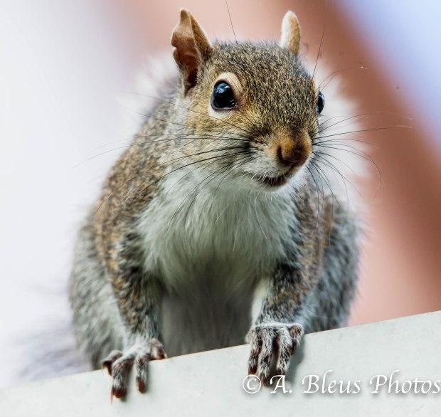 Gray Squirrel 93E5164