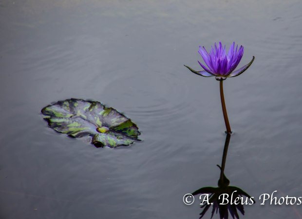 Lily Flower in Pond_93E4353