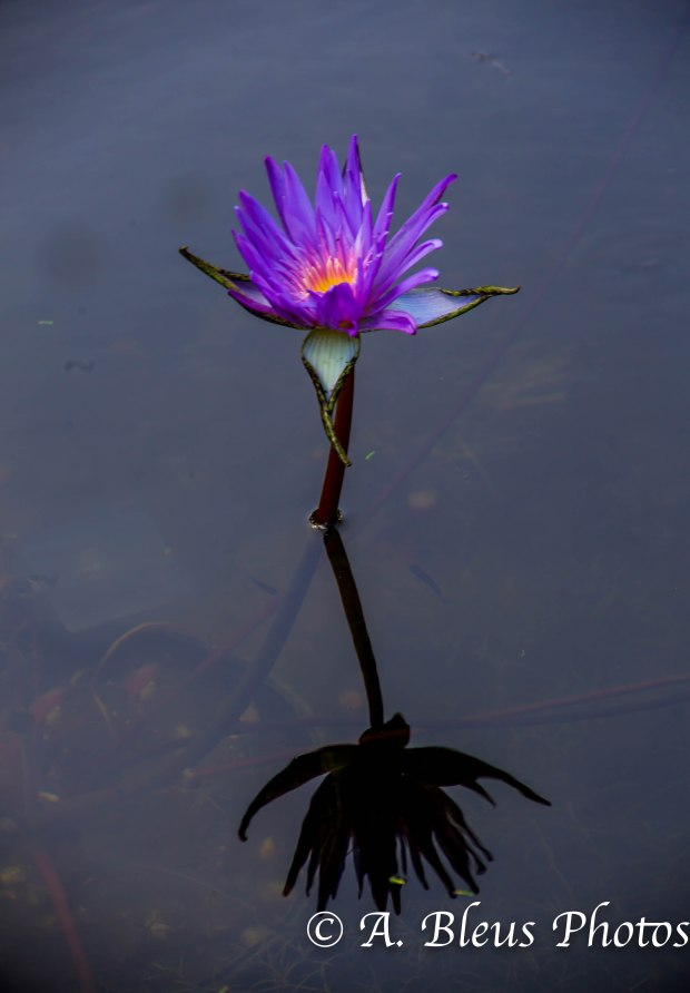 Lily Flower in Pond_93E4360