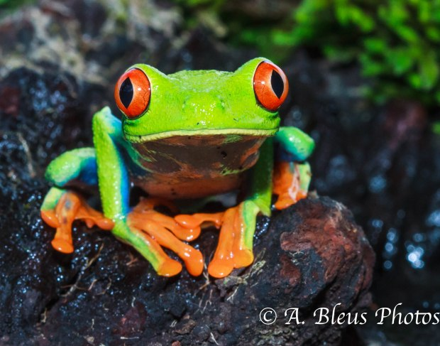 Little Green Frog of Costa Rica