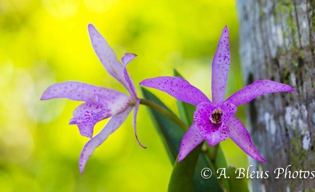 Orchid Flower _93E4300