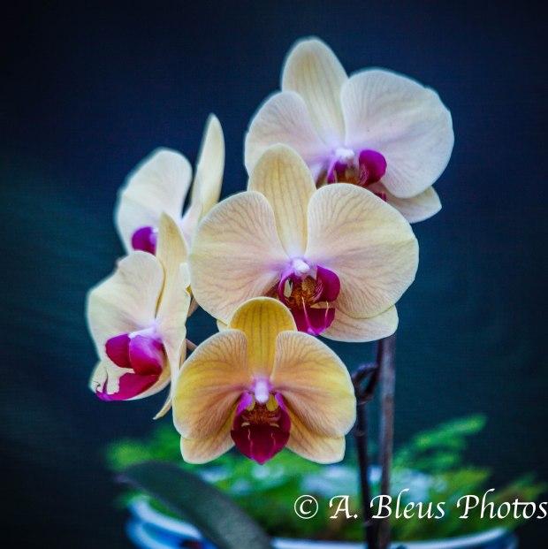 Phalaenopsis Orchid_