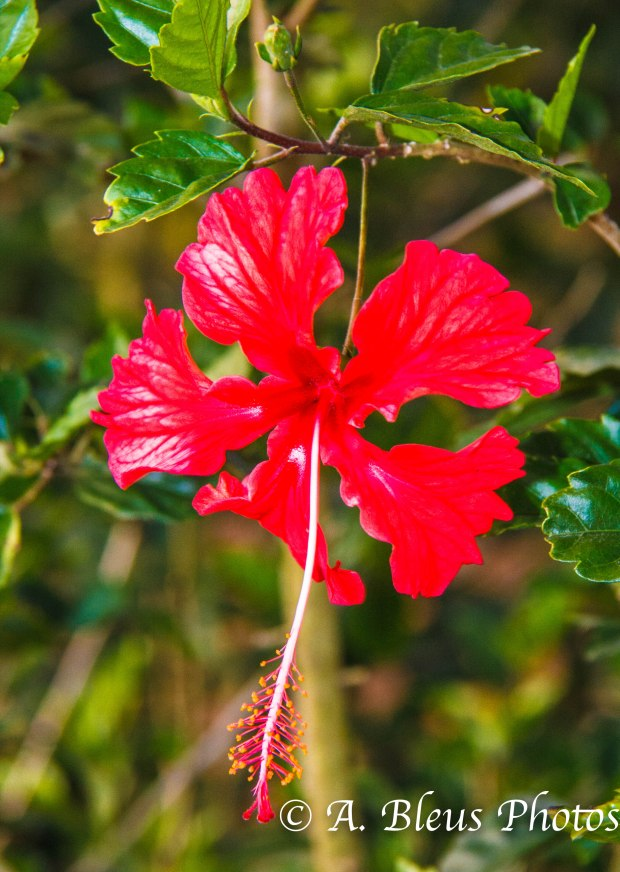 Red Hibiscus Flower_