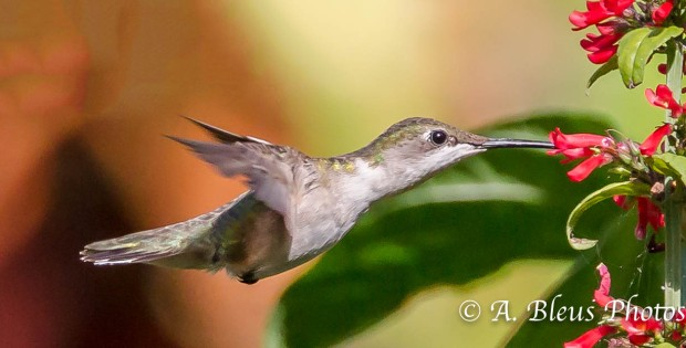Ruby-throated Hummingbird 93E5095