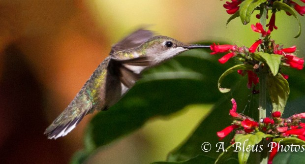 Ruby-throated Hummingbird 93E5096