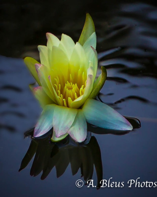 Yellow Lily Flower in Pond_93E4363