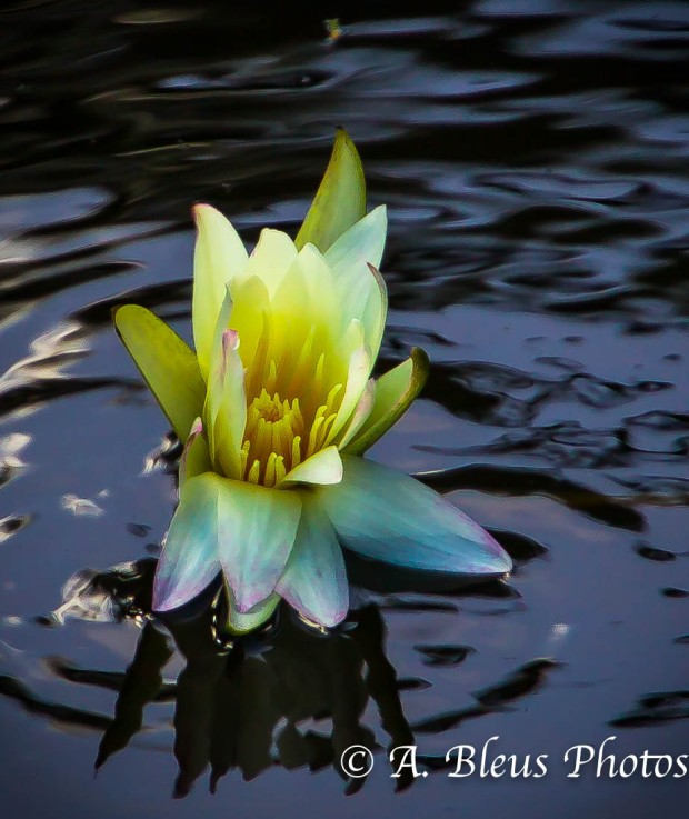 Yellow Lily Flower in Pond_93E4365