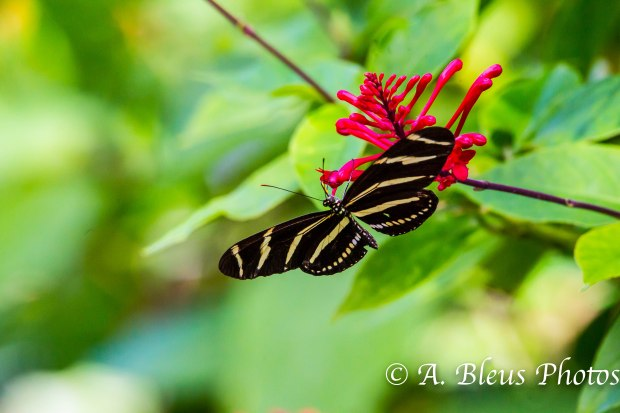 Zebra Longwing Butterfly 93E5131