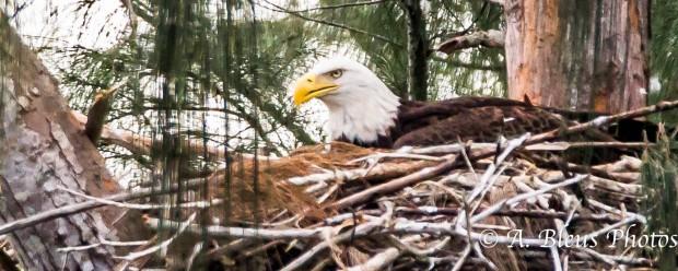 Bald Eagle of Pembroke Pines 93E5513