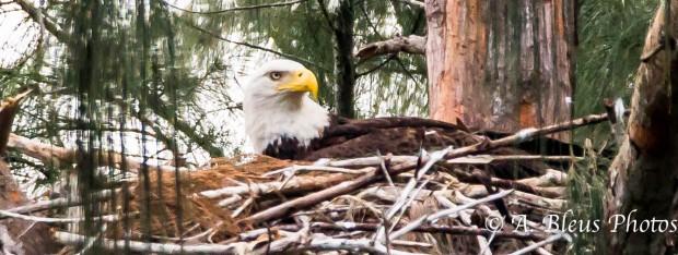 Bald Eagle of Pembroke Pines nesting 93E5518