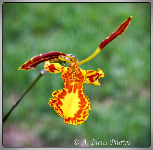Butterfly  Orchid Oncidium Papilio