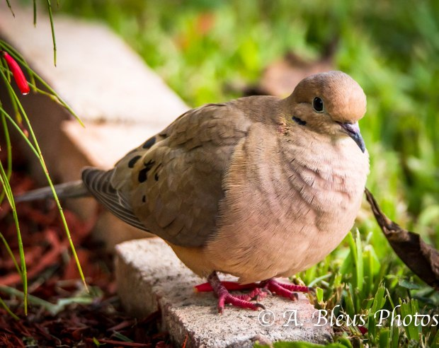 Mourning Dove-3