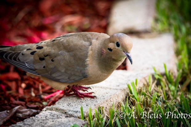 Mourning Dove-4