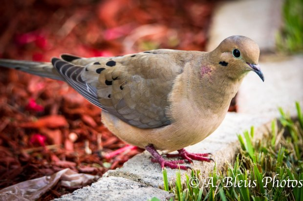 Mourning Dove-5