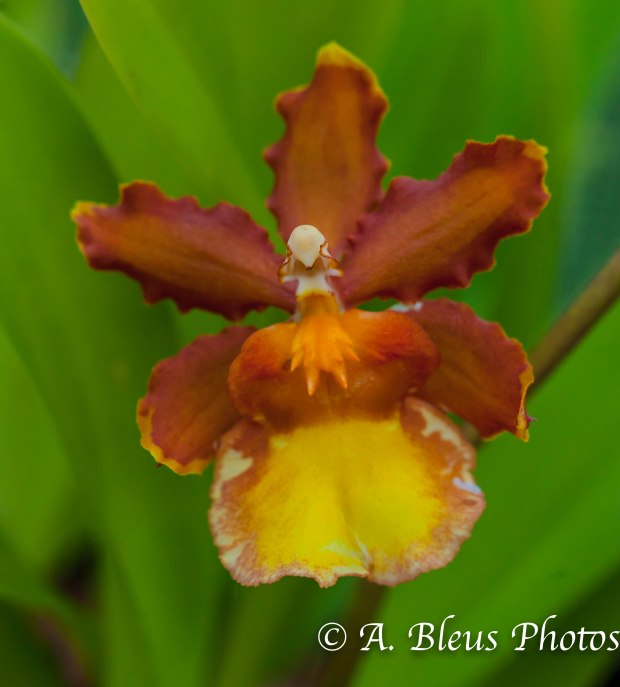 Oncidium Orchid MG_7703
