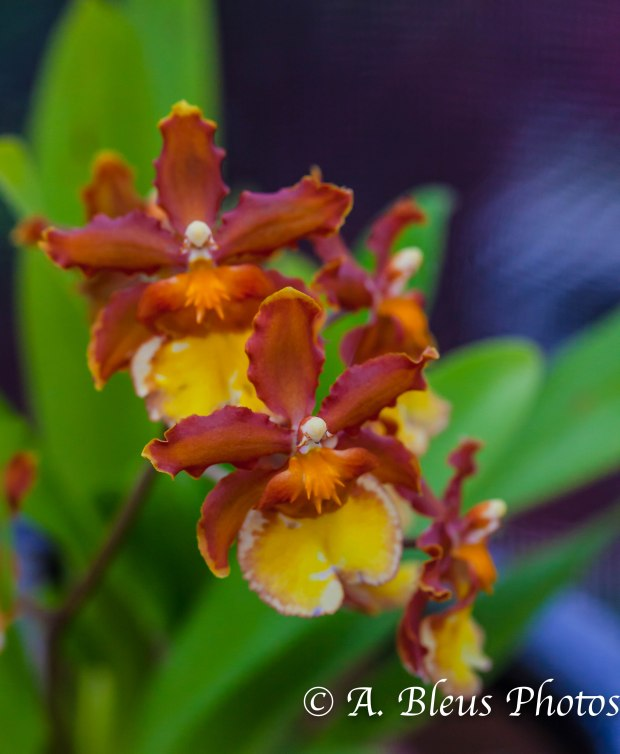 Oncidium Orchid MG_7704