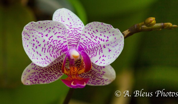 Phalaenopsis Orchid MG_7708