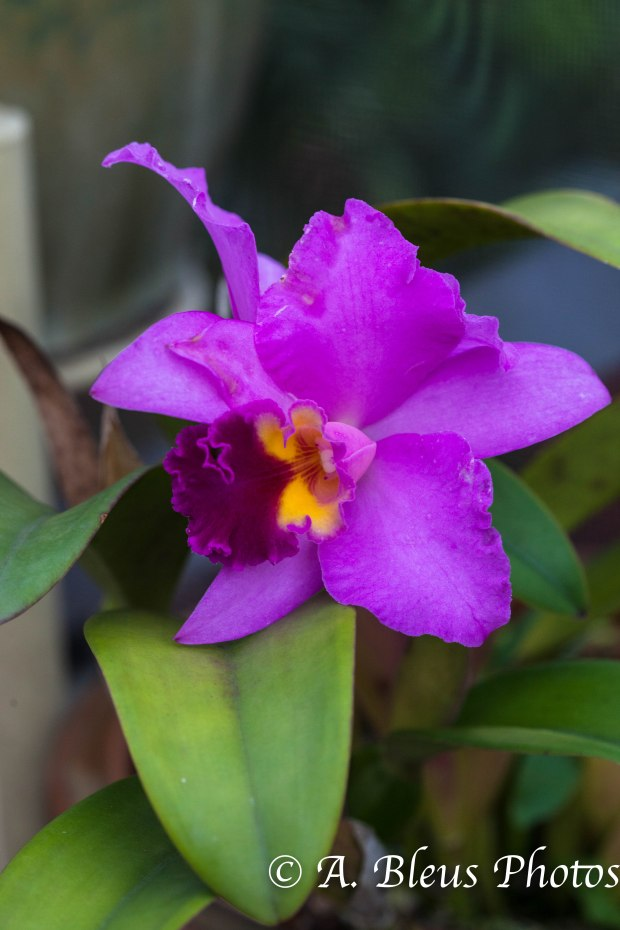 Pink Cattleya Orchid MG_7701