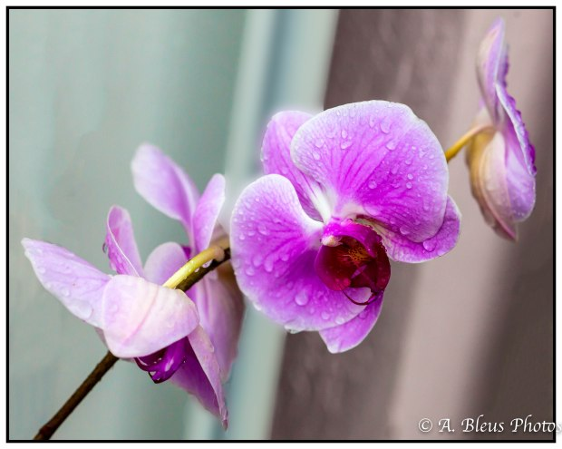 Pink Phalaenopsis Orchid after the rain, MG_7910