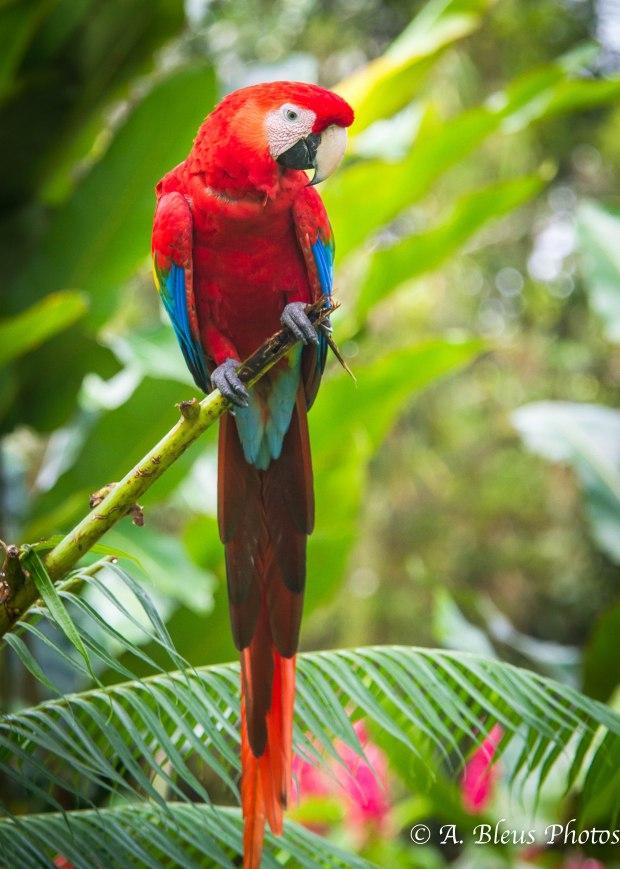 Scarlet Macaw MG_5709