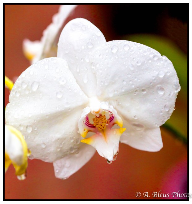 White Phalaenopsis Orchid after the rain, MG_7907