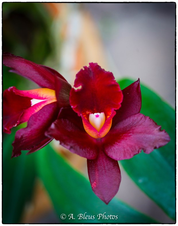 Mini Cattleya Orchid-2