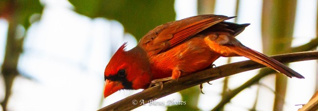 Perched Northern Cardinal_93E8061-62-2