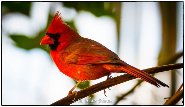 Perched Northern Cardinal_93E8065