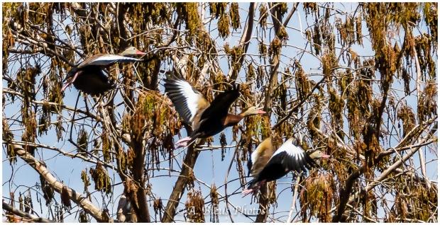 Black-bellied Whistling-Duck_93E9354
