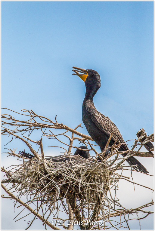 Cormorant on nest_93E9591