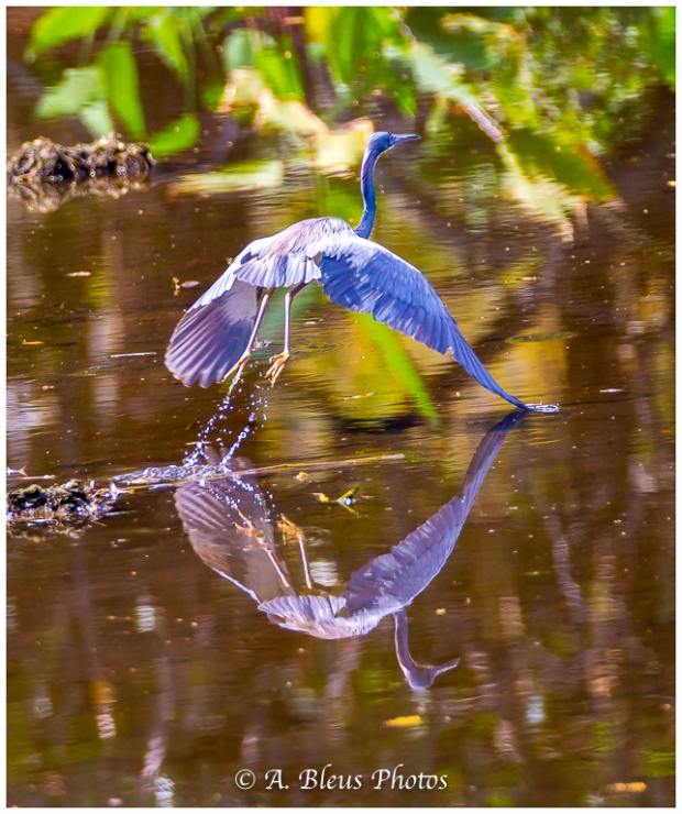 Great Blue Heron taking off_93E9343