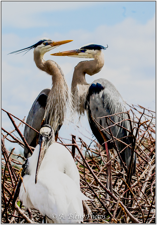 Great Blue Heron & Wood stork_93E9596
