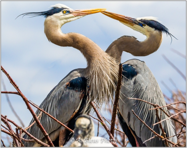 Great Blue Herons in discussion_93E9610