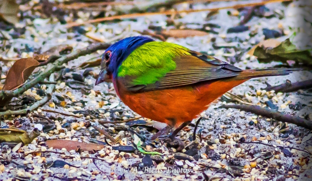 Male Painted Bunting MG_1814